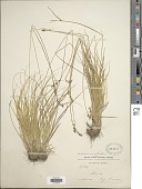 view Carex brunnescens (Pers.) Poir. digital asset number 1
