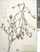 view Centaurea diffusa digital asset number 1