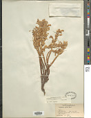 view Orobanche aegyptiaca Pers. digital asset number 1