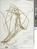 view Cyperus blepharoleptos Steud. digital asset number 1