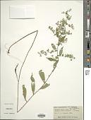 view Symphyotrichum lateriflorum var. pendulus digital asset number 1