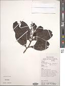 view Helicia obtusata Sleumer digital asset number 1