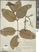 view Trattinnickia laxiflora Swart digital asset number 1
