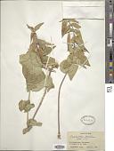 view Vincetoxicum pumilum Decne. digital asset number 1