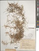 view Tillandsia usneoides (L.) L. digital asset number 1