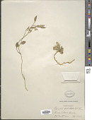view Polygala pedicellata S.F. Blake digital asset number 1
