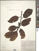 view Casearia esculenta Roxb. digital asset number 1