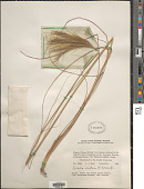 view Pseudopogonatherum irritans (R. Brown) A. Camus digital asset number 1