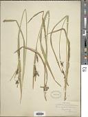 view Carex scabrata Schwein. digital asset number 1