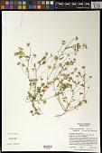 view Trifolium depauperatum var. amplectens digital asset number 1