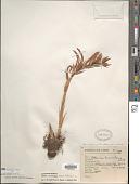 view Pitcairnia karwinskyana Schult. & Schult. f. digital asset number 1