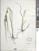 view Carex louisianica L.H. Bailey digital asset number 1