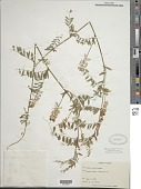view Vicia caroliniana Walter digital asset number 1