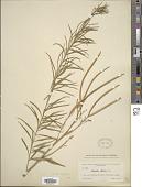view Amsonia tenuifolia (Raf.) R.A. Harper digital asset number 1