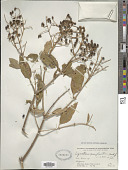 view Ligustrum compactum (Wall. ex G. Don) Hook. f. & Thomson ex Brandis digital asset number 1