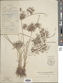 view Cyperus distans L. f. digital asset number 1