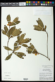 view Gordonia fruticosa (Schrad.) H. Keng digital asset number 1
