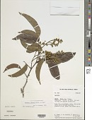 view Swartzia dipetala Willd. ex Vogel digital asset number 1