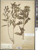 view Monnina ciliolata DC. digital asset number 1