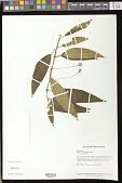 view Besleria penduliflora Fritsch digital asset number 1
