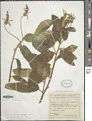 view Centropogon hartwegii (Benth.) Benth. & Hook. f. ex B.D. Jacks. digital asset number 1
