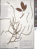 view Dendrophthora flagelliformis (Lam.) Krug & Urb. digital asset number 1