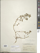 view Polygonum buxiforme Small digital asset number 1