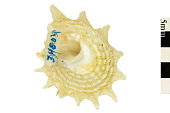 view Longspine Starsnail, Long-spined Star-shell, Long-spined star-shell digital asset number 1