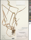 view Chaetotropis elongata (Kunth) Björkman digital asset number 1