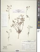 view Eriogonum nutans Torr. & A. Gray digital asset number 1
