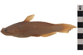 view Brown Bullhead digital asset number 1