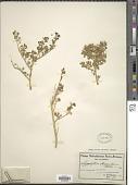 view Zygophyllum maximiliani Schltr. ex Huysst. digital asset number 1