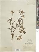 view Hedysarum alpinum var. americanum Michx. ex Pursh digital asset number 1