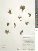 view Werneria apiculata Sch. Bip. digital asset number 1