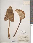 view Zantedeschia aethiopica (L.) Spreng. digital asset number 1