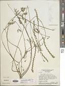view Zornia reticulata Sm. digital asset number 1