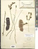 view Senegalia pedicellata (Benth.) Seigler & Ebinger digital asset number 1