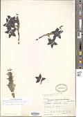 view Orbea variegata (L.) Haw. digital asset number 1