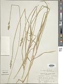 view Carex conjuncta Boott digital asset number 1