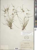 view Rhynchospora pubera (Vahl) Boeckeler digital asset number 1