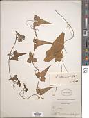 view Dioscorea valdiviensis R. Knuth digital asset number 1