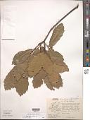 view Quercus laeta Liebm. digital asset number 1