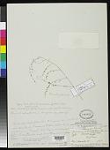 view Panicum reticulatum Thwaites ex Trimen, nom. illeg. digital asset number 1