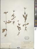 view Mitreola petiolata (J.F. Gmel.) Torr. & A. Gray digital asset number 1