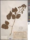 view Rubus pallidus Weihe digital asset number 1
