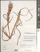 view Andropogon glomeratus (Walter) Britton, Stearns & Poggenb. var. glomeratus digital asset number 1
