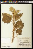 view Solanum thomasiifolium Sendtn. digital asset number 1