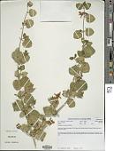 view Petalidium coccineum S. Moore digital asset number 1