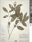view Bunchosia plowmanii W.R. Anderson digital asset number 1