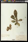 view Napeanthus subacaulis (Griseb.) Benth. & Hook. f. ex Kuntze digital asset number 1